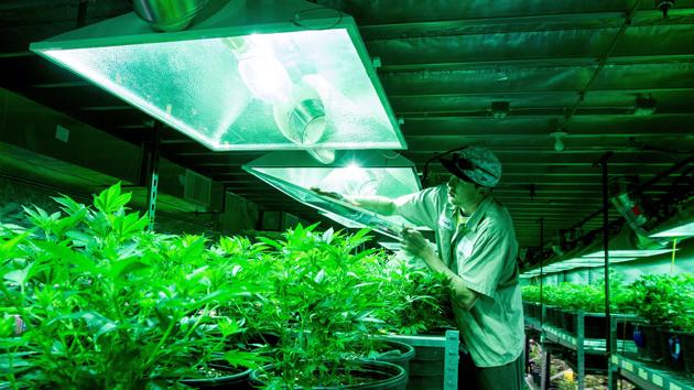 Marijuana Grower for Pot Farm
