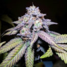 Purple Kush marijuana strain I DispensaryLocation.com