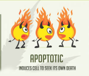 Apoptotic Prototype - Cancer and Cannabis